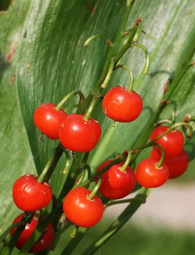 какие признаки того, что ягоды ядовитые
